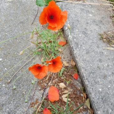 Ook tussen de stenen groeien bloemen