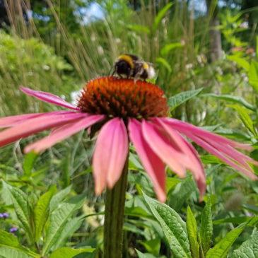 Bloemen voor bijen, hommels en vlinders